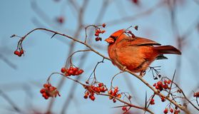 Male Northern Cardinal eating red berries. Male Northern Cardinal Cardinalis cardinalis eating red berries in the wild royalty free stock photography