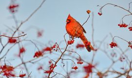 Male Northern Cardinal eating red berries. Male Northern Cardinal Cardinalis cardinalis eating red berries in the wild royalty free stock photo