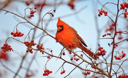 Male Northern Cardinal eating red berries. Male Northern Cardinal Cardinalis cardinalis eating red berries in the wild royalty free stock image