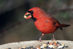 Male Northern Cardinal. Eating Seed stock photo