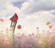 Cardinal bird in a flower field. Male Northern Cardinal in a flower field Royalty Free Stock Image