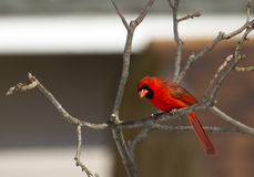 Male Northern Cardinal Gawking Royalty Free Stock Photo