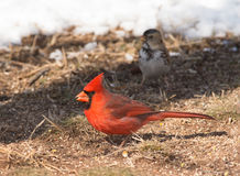 Male Northern Cardinal on the ground eating seeds Stock Images