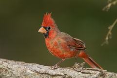 Male Northern Cardinal on a Log. Male Northern Cardinal (Cardinalis cardinalis) perched on a log with its crest erected - Ontario, Canada royalty free stock images