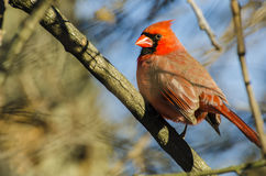 A male Northern Cardinal looking on Stock Photo