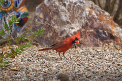 Male northern cardinal looking for food. On the garden floor Stock Photography