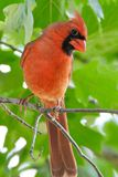 Male Northern Cardinal in a Oak Tree. Bright red male Northern Cardinal looking curiously at viewer Royalty Free Stock Photography