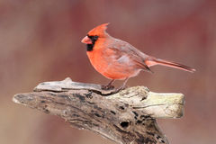 Male Northern Cardinal On A Perch Stock Images