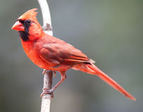 Male Northern Cardinal perched Stock Images