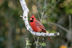 Male Northern Cardinal perched. A bright red Northern Cardinal perched in a tree Stock Images