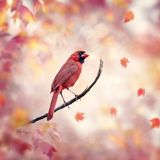 Male Northern Cardinal on autumn background royalty free stock images
