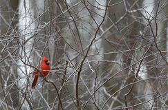 Male northern cardinal perched on bare branches. One male northern cardinal perched on bare branches Royalty Free Stock Photos