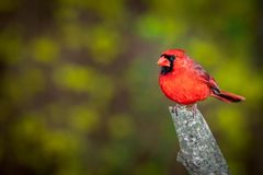 Male Northern Cardinal perched on a branch Stock Photo