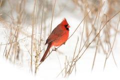 Male northern cardinal Royalty Free Stock Photos