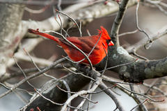 Cardinal in Maple Stock Images