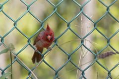 A Male northern cardinal Cardinalis cardinalis perched in a fence foraging for seeds. A vibrant red bird with a green metal fenc. A Male northern cardinal stock photos