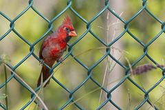 A Male northern cardinal Cardinalis cardinalis perched in a fence foraging for seeds. A vibrant red bird with a green metal fenc. A Male northern cardinal stock photography