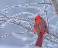 Male Northern Cardinal perched on a frosty branch stock images