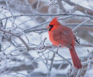 Male Northern Cardinal perched on a frosty branch royalty free stock photography