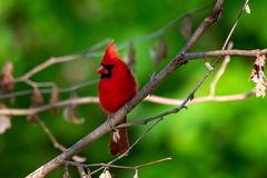 Male Northern Cardinal perched. On a lim with green background royalty free stock photos