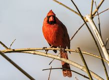 Northern cardinal perched in a tree. A male northern cardinal perched in a tree staring at me stock image