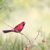 Male Northern Cardinal. Perching on a Branch Royalty Free Stock Photo