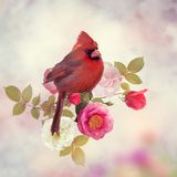 Male Northern Cardinal with rose flowers royalty free stock images