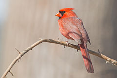Male Northern Cardinal. Sitting On a Branch royalty free stock photography