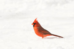 Male northern cardinal. In the snow following a heavy snowstorm in winter Stock Photo