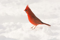 Male northern cardinal. In the snow following a heavy snowstorm in winter Royalty Free Stock Photos