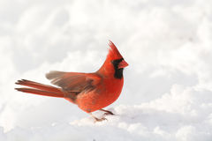 Male northern cardinal. In the snow following a heavy snowstorm in winter Royalty Free Stock Images