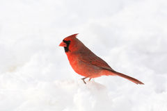 Male northern cardinal. In the snow following a heavy snowstorm in winter Royalty Free Stock Image