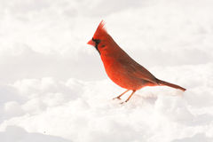 Male northern cardinal Royalty Free Stock Image