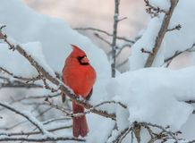 Male Northern Cardinal in a snow and ice covered tree royalty free stock image
