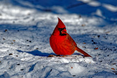 Male Northern Cardinal in the Snow. A male Northern Cardinal sits in the snow. These vibrant birds contrast sharply with the white snow Royalty Free Stock Photos