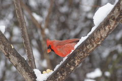 Male Northern Cardinal on Snowy Branch Stock Images