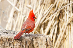 Male Northern Cardinal standing on a Stump, Arizona, USA Royalty Free Stock Photos