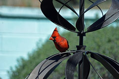 Male northern cardinal standing on a wind catch. Male northern cardinal standing on a garden wind catch Royalty Free Stock Images