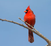 Male Northern cardinal surveying landscape Royalty Free Stock Photo