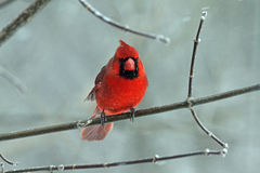 A Male Northern Cardinal in Winter Stock Photos