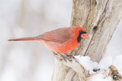 Male Northern Cardinal Stock Photos