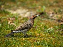 Free Male Northern Flicker Stock Photography - 182947172