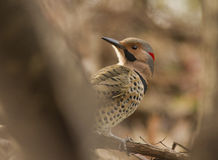 Male Northern Flicker Stock Photo