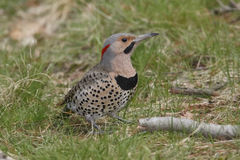 Male Northern Flicker. (Colaptes auratus) Foraging on the Ground - Ontario, Canada royalty free stock photo