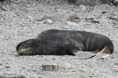Male northern fur seal lying on the coast Stock Photography