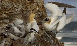 Male Northern Gannet Returns Royalty Free Stock Photos