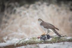 Male northern goshawk with prey Stock Photos