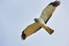 Male Northern Harrier Royalty Free Stock Photography