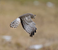 Male Northern Harrier Stock Images