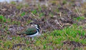 Male Northern LapwingVanellus vanellus closeup in spring Stock Photos
